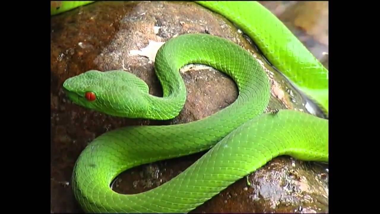 pit viper (eyes on Leuser) - YouTube