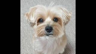 50 Amazing Beautiful Yorkies Dog Pictures compilation