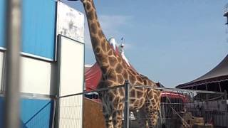 жираф ходит