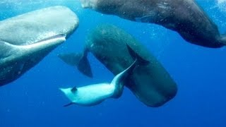 SPERM WHALES ADOPT DEFORMED DOLPHIN