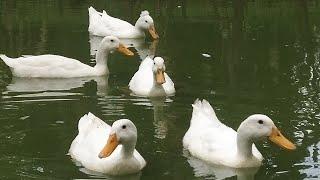 Download bebek berenang || Bebek bebek ku lagu anak populer ||