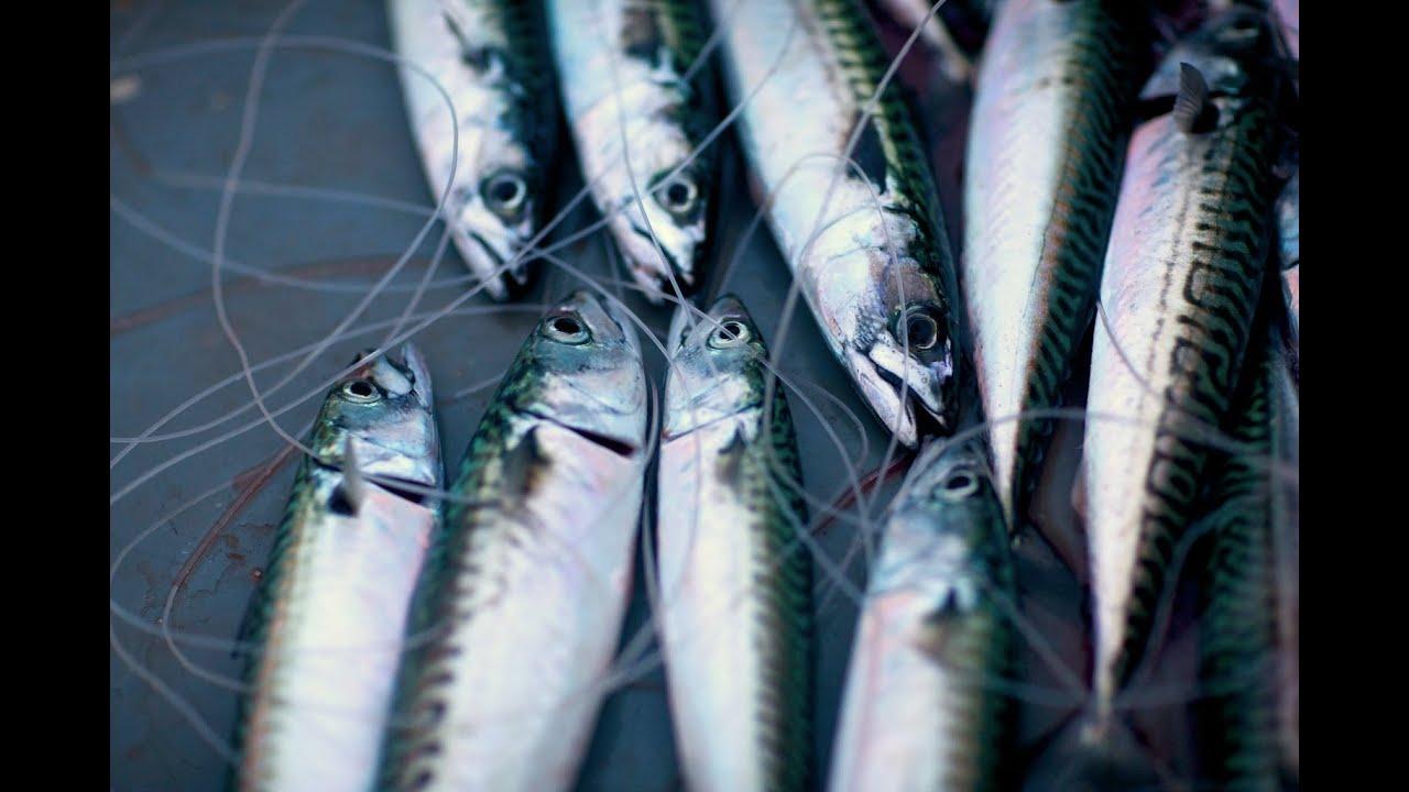 Cornish mackerel 39 loop 39 hand line fishing porthkerris off for Hand line fishing