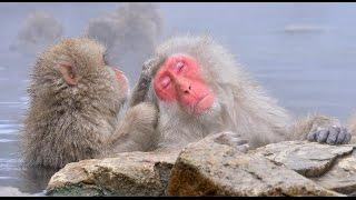 サルの露天風呂で世界的に有名な長野県山ノ内町の地獄谷野猿公苑では、...