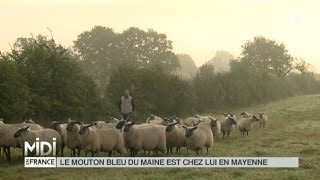 ANIMAUX : En Mayenne, les races anciennes ne manquent pas d'activité