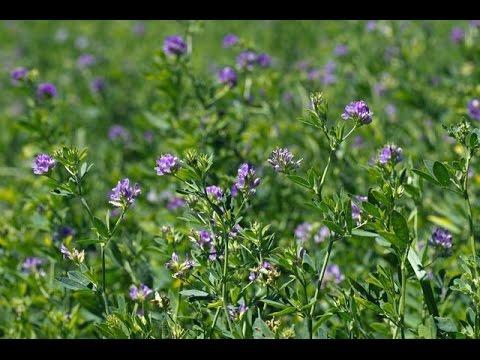 Сенна полезные свойства сенны, трава сенны слабительное