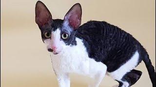 Adorable Cornish Rex Cats