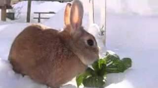 兵庫県ハチ北スキー場「よなごや」の庭で雪と遊ぶウサギです。「くんく...
