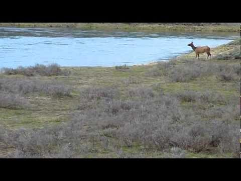 Coyote attack in Yellowstone