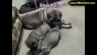 Sharpei, Puppies, For, Sale, In, Gresham, Oregon, County, Or, Multnomah, Washington, Clackamas, Lane