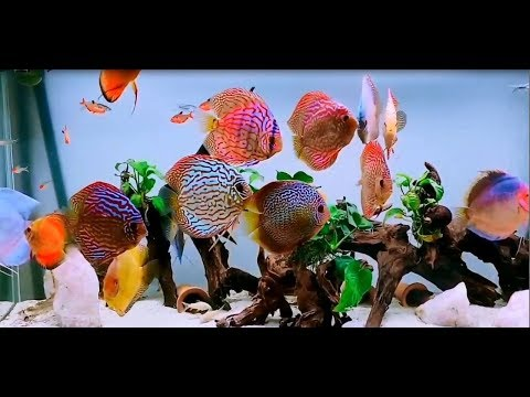 Gorgeous Discus Collection Owned By Marco Marcelli. NEW VIDEO