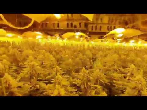 Hallan en Barreiros una plantación interior de mil plantas de marihuana
