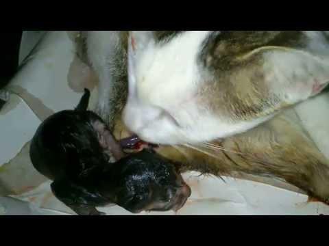 Kucing Melahirkan 4 Ekor Part 2