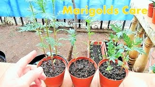 Pinching Out Marigolds