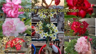 Meet My All Adenium Plant On Your Demand || My all rosy variety Adenium view