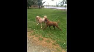Poodle, Doodle, And Shiba Inu At Play