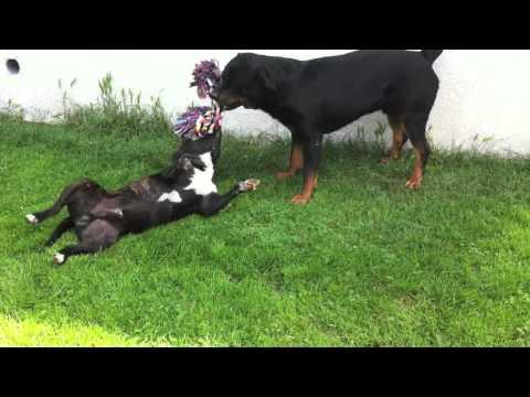 Rottweiler vs pitbull hahaha | FunnyDog.TV