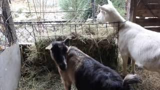 Содержание коз в зимний период.