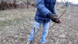 ОБРЕЗКА САЖЕНЦЕВ ПОСЛЕ ПОСАДКИ. 3. СЛИВА. pruning plums(Закладка чашевидной форми кроны на примере однолетних саженцев слив. https://vk.com/samo_sad., 2016-03-22T22:23:44.000Z)