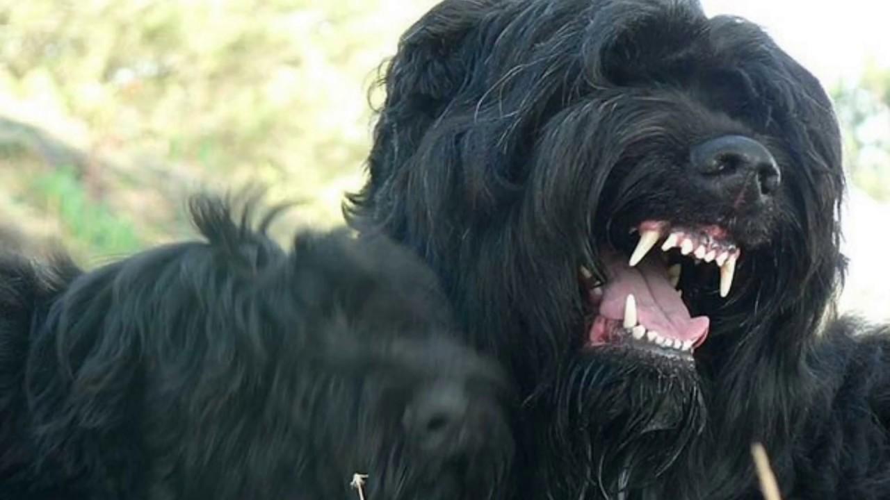 Чёрная смерть. Русский чёрный терьер. Он же Черныш. Он же Чёрная жемчужина. Собака Сталина и Берии.