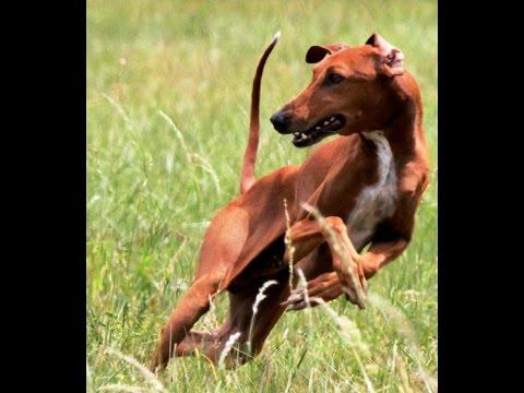 Azawakh Lure Coursing Training slow motion the sighthound Goumsao NPA France, Азавак, Azavak.