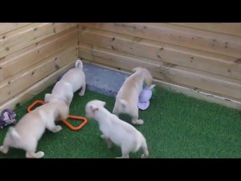 Westie X Cavalier pups