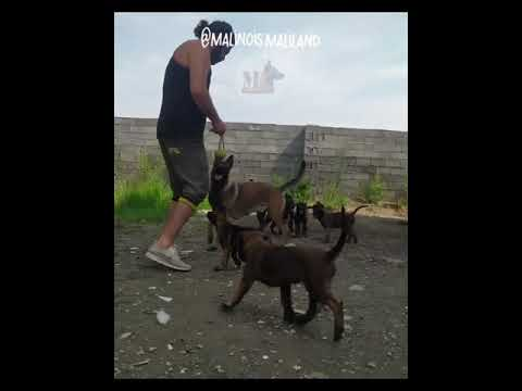 amazing-belgian-malinois-dog-breed-training-&-obedience-from-@malinois.maliland-#belgianmalinois