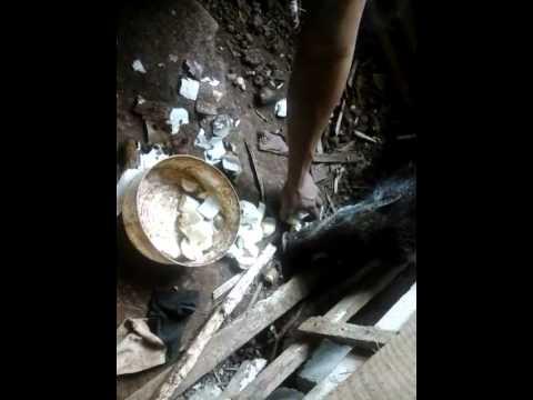 53 Gambar Babi Makan Singkong