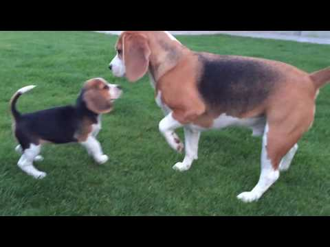 Cute Dog gets SURPRISE OF A LIFETIME! A PUPPY! Louie & Marie The Beagles
