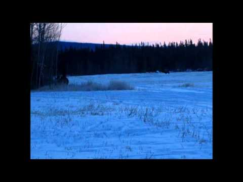 Alaska Bison Hunt 2011