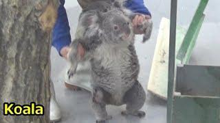 埼玉県こども動物自然公園のコアラのです。 Cute koala baby and mother...