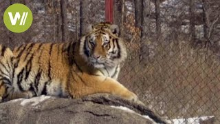 Siberian tiger found in northeastern China