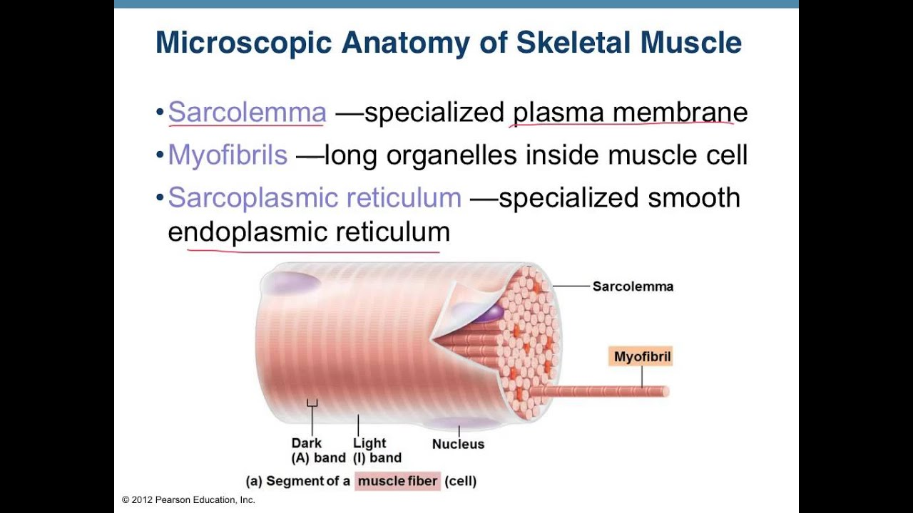 Muscle Intro And Muscle Tissue Anatomy Youtube