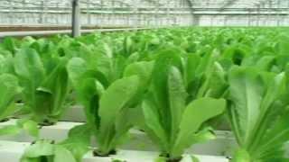 Производство салатов и зелени от Московского в Москве