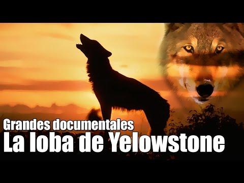 Grandes documentales - La loba de Yelowstone