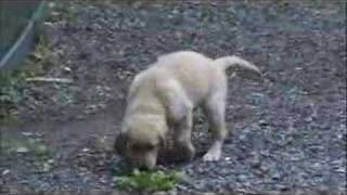 Golden Retriever Puppy & Choclate Lab Puppy House Training