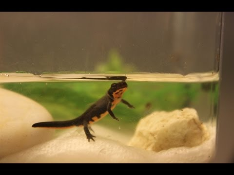Newt Efts Now AQUATIC!!!