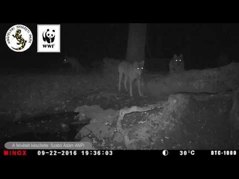 éjszaka egy vaddisznó látványa