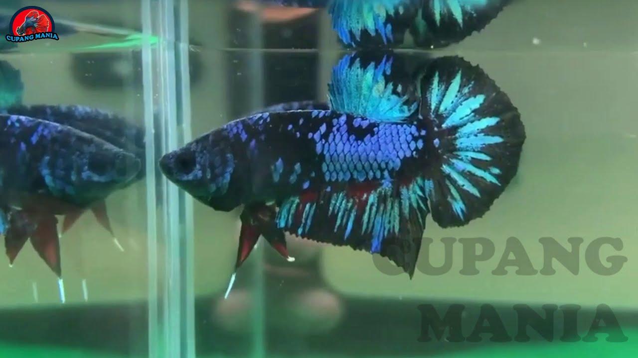 10 Ikan Cupang Avatar Termahal Dengan Warna Indah Dan Corak Menarik Youtube