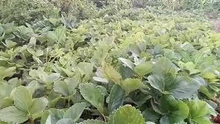 видео Земляника садовая Мальвина