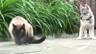 Маленький Хаски по имени ЛОКИ и Сиамский кот МАКСИМ