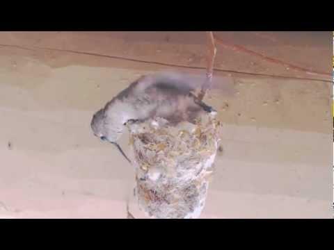 Black-chinned hummingbird returns to last year's nest