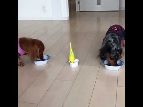 Little bird races to eat next to his doggie brothers - 978978