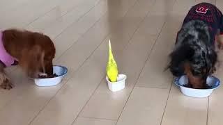 犬の隣でご飯を食べたいインコ…遠くから走ってくる(動画)