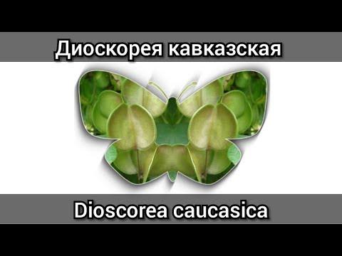 Диоскорея кавказская купить