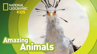 Secretary Bird | Amazing Animals