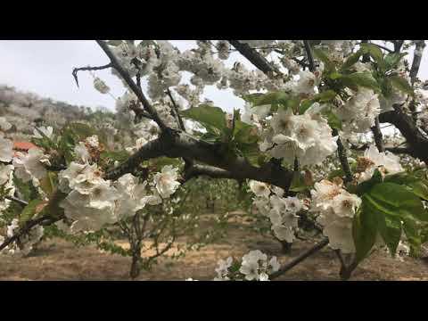 El cerezo en flor 2021. El Valle del Jerte. Extremadura es preciosa.Vol 3.