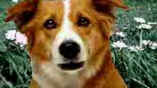 Cane arabiato