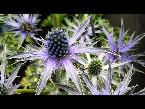 Best Garden Perennials, Eryngium 'Big Blue' (Sea Holly)