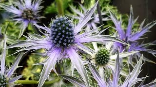 Video Best Garden Perennials, Eryngium 'Big Blue' (Sea Holly) download MP3, 3GP, MP4, WEBM, AVI, FLV Juli 2018
