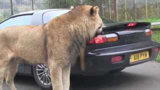 Lion takes a bite out of sports car || Viral Video UK
